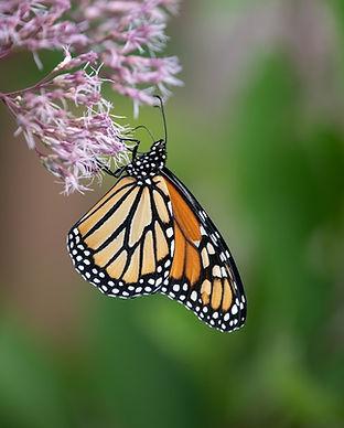 monarch butterflies-4.jpg