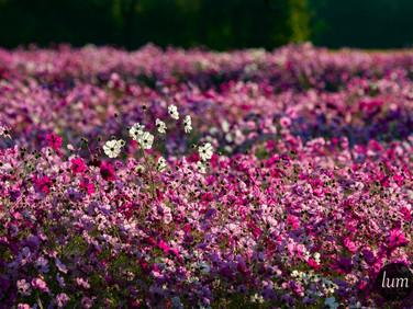 Jachère fleurie en Médoc