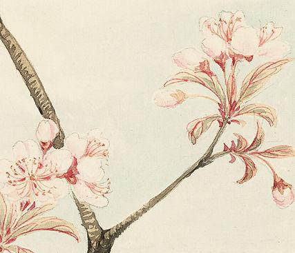 Kirschblüten-Skizze