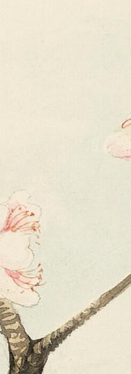 Cherry Blossom Sketch