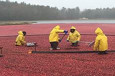 cranberries.bmp