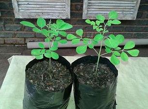 Moringa-plants-17-cm-high-20170403012330