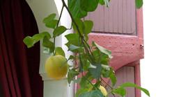 citronnier.jpeg