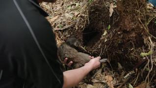 Kiwi's For Kiwi - Maungatautari Release