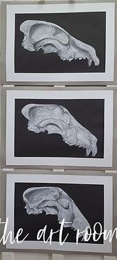 Bull Terrier Skull Evolution 1931 - 1976