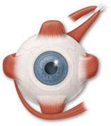 Şaşılık ve göz kasları