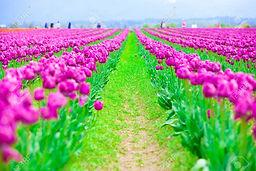 62557933-rows-of-beautiful-purple-tulips