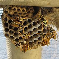 Disinfestazione da nidi di vespe e calabroni