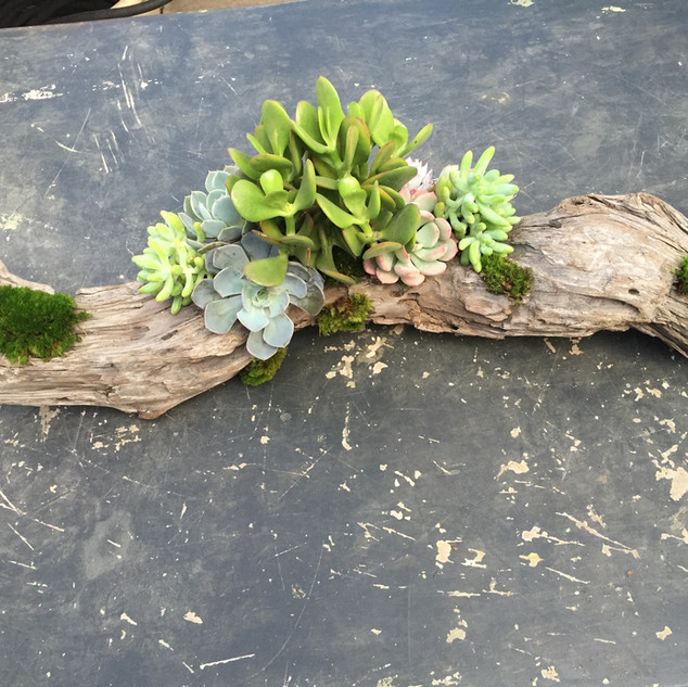 Succulents on Driftwood