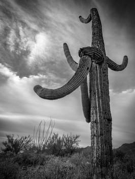Cactus, Saguaro National Monument, Arizona. 2017