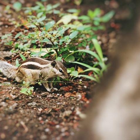 Indisches Eichörnchen :)