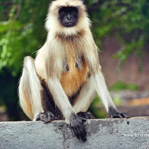 Affe, Nähe Ajanta Höhlen, Indien