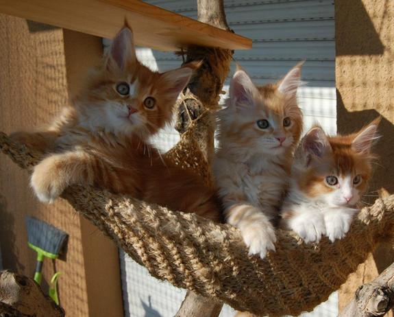 mainecoon_kittens.jpg
