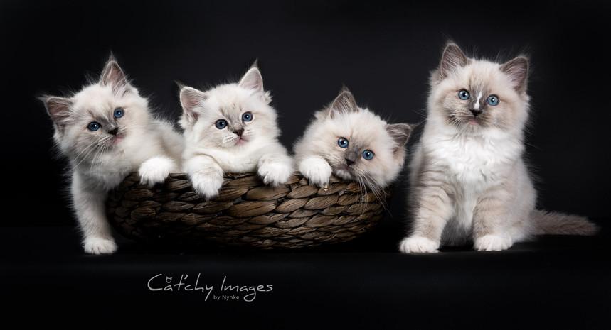 ragdoll_kitten2.jpg