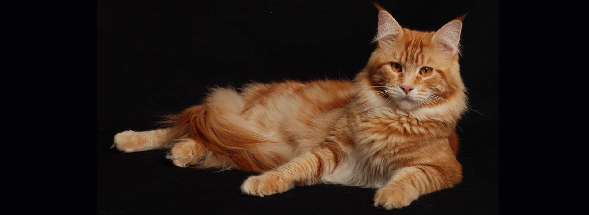 MaineCoonSerafino_Home