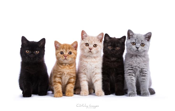 british_kittenColors.jpg