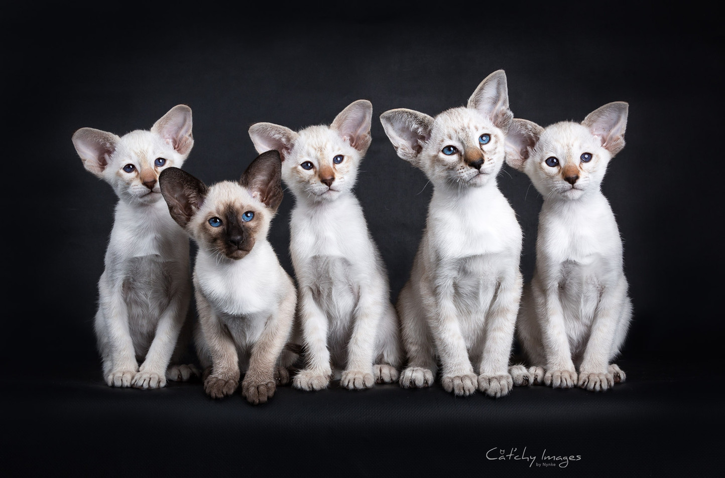 siamese_kitten.jpg
