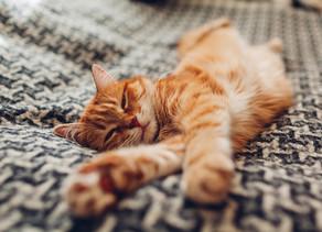 Sterilizzazione: i vantaggi e gli svantaggi della gonadectomia del gatto