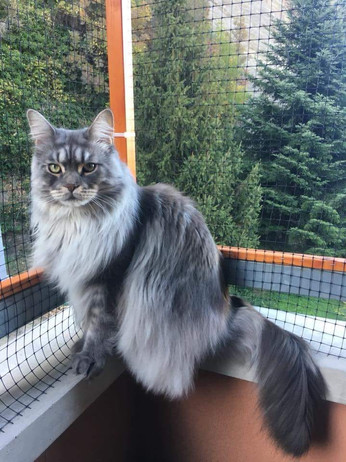 mainecoon_vincenzo4.jpg