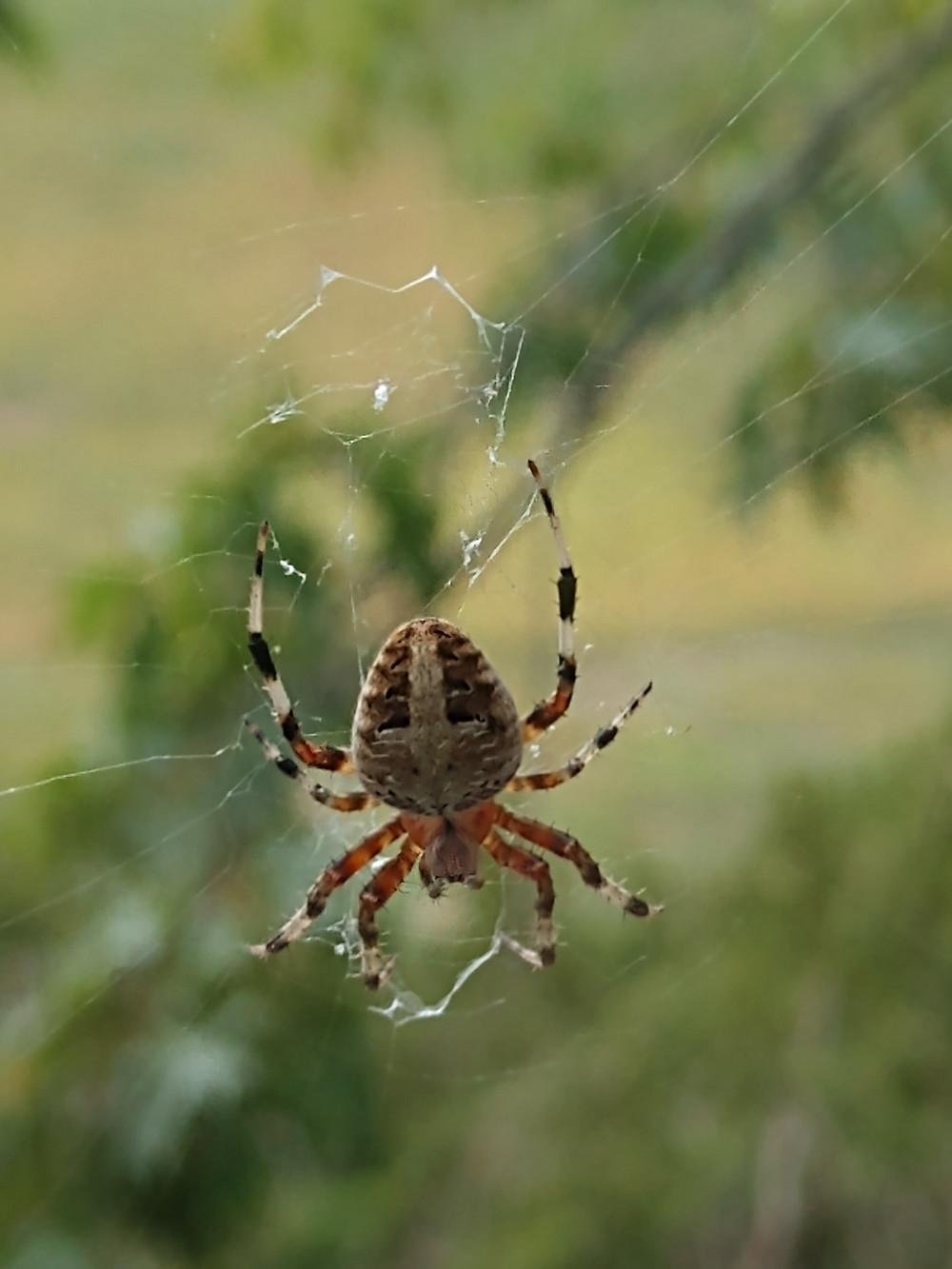An Orb Weaving Spider