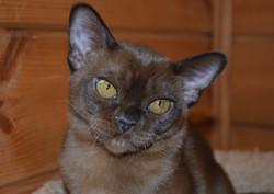 фото бурманского котенка соболя