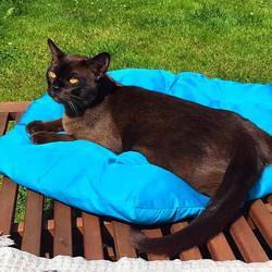 Соболиный кот породы Европейская Бур