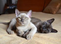 Бурманские котята .Помет А
