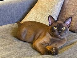кот соболиного окраса.Бурма