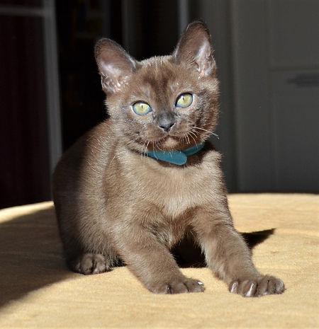 Бурманский котенок соболиного окраса