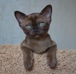 Фото котенка Бурма соболиного окраса