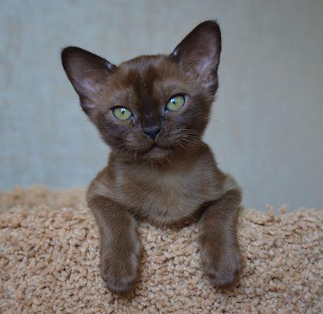 Фото котенка Бурма соболиного окраса.JPG