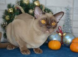 бурманский кот