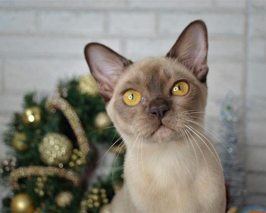 бурманский котенок .JPG