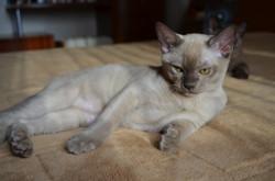 Бурманский котенок шоколадного окрас