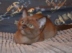 Бурманский котенок фото_