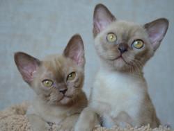 бурманские котята из питомника