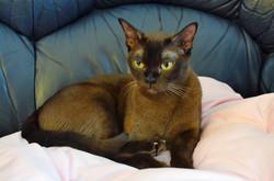 Порода кошки Европейская Бурма