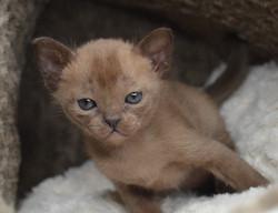 Купить бурманского котенка из питомника.