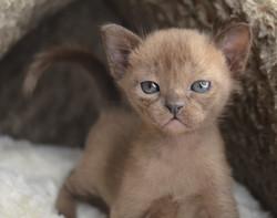 Котенок Европейская Бурма соболь