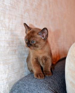 Котенок Европейской Бурмы (соболь)