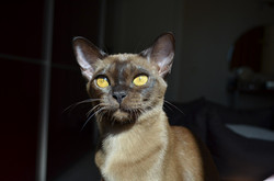 Бурманская порода