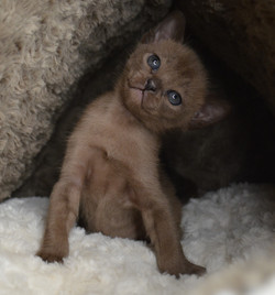 Котенок соболиного окраса.Продается.