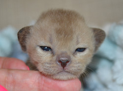 Фото котенка соболиного окраса