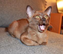 Котенок соболиного окраса