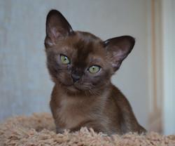 фото соболиного бурманского котенка