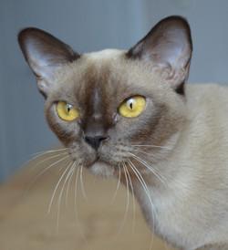 Бурманская кошка шоколадного окраса Secr