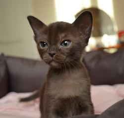 Купить бурманского котенка соболиного ок