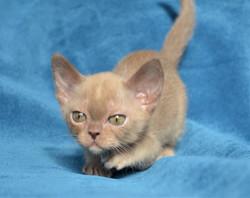 котенок бурма шокоадного окраса
