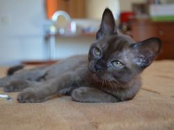 котенок породы Европейская Бурма