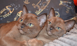 Фото Бурманских котят_
